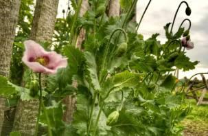 Полицейские изъяли у смолян 100 кустов наркосодержащих растений