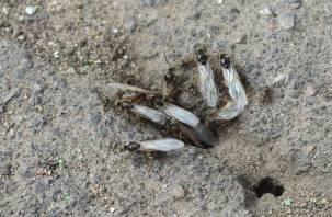«Их ужас сколько!» В Смоленской области наблюдается нашествие летающих муравьёв