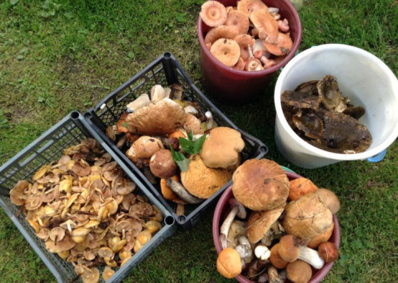 Россиянам напомнили, как правильно собирать грибы
