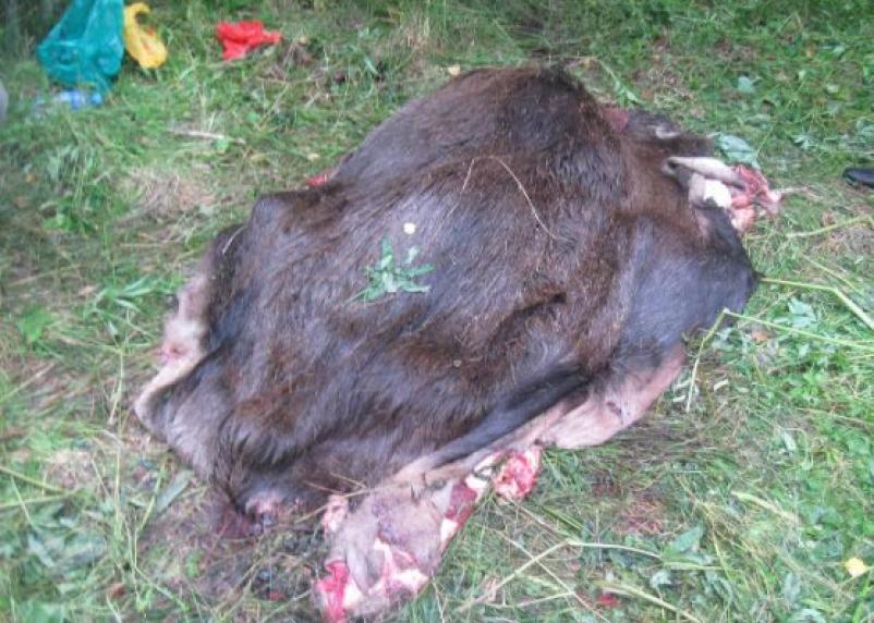Смоленскому браконьеру за убийство лося грозит тюрьма