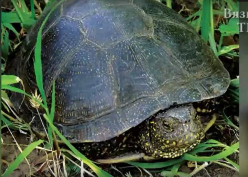 В вяземских прудах стали обитать черепахи