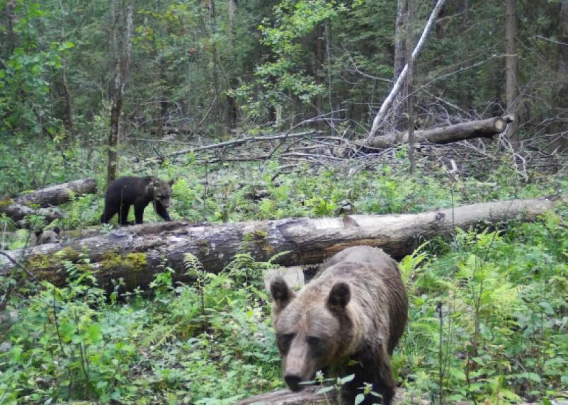 В Смоленской области участились случаи выхода медведей к людям