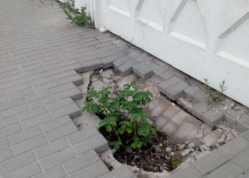 «Индикатор безразличия». Смоляне посадили в яму на тротуаре картошку