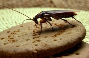 Почему человечество не может избавиться от тараканов