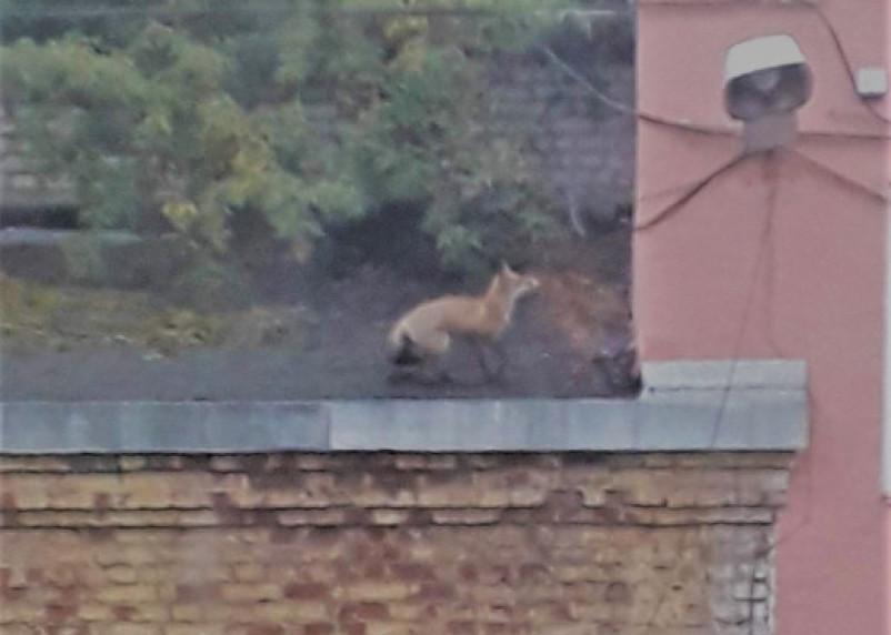 Жители Рославля запечатлели на камеру гулящую по крыше лису