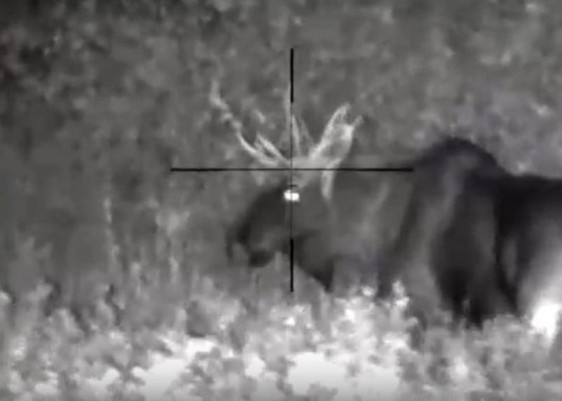 В Смоленской области начался гон лосей. Видео попало в сеть