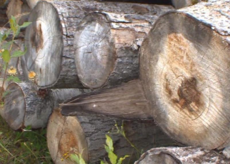 В Рославльском районе незаконно вырубили лес