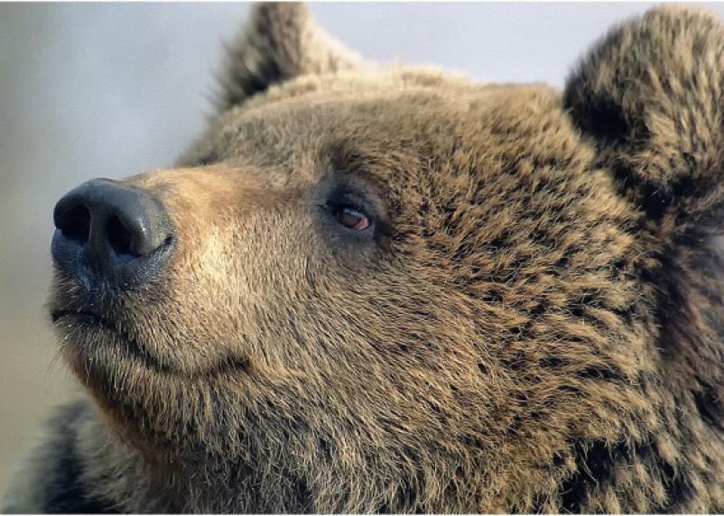 Поднимите шум. В МЧС рассказали, как действовать при встрече с медведем