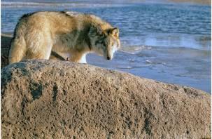 Ждите гостей. Выходы волков к населённым пунктам в Смоленской области участятся