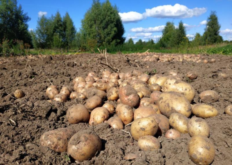 Интернет-мошенник обманул вязьмичку на покупке картофеля
