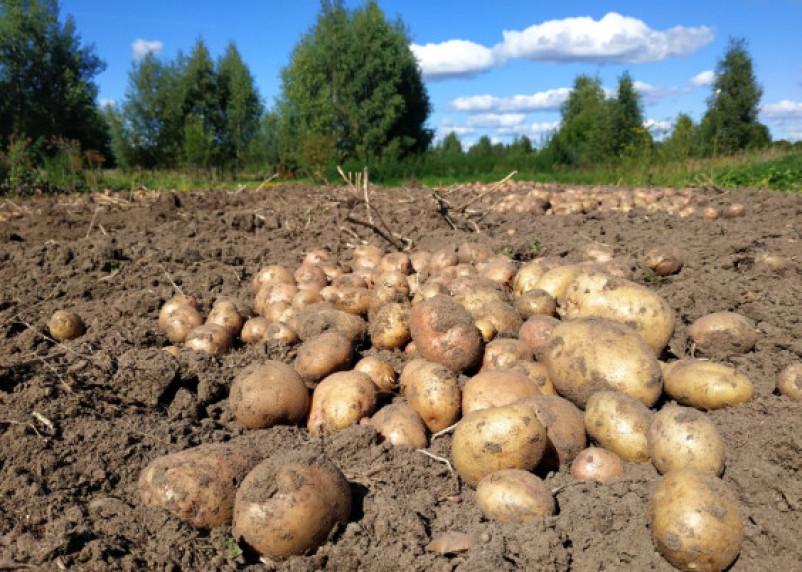 Зарплата измеряется картошкой. В этом году смоляне смогут купить почти на полтонны картофеля меньше