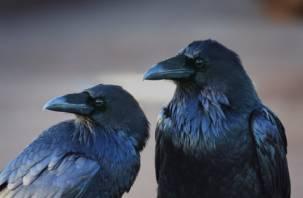 Учёные установили, что вороны каркают осознанно и со смыслом