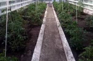 В смоленской колонии вырастят помидоры к Новому году
