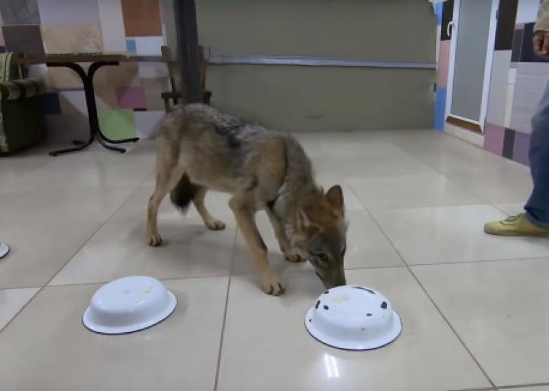 Волчица из смоленского приюта продемонстрировала чудеса обоняния