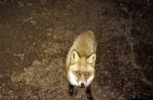 «Правильный» лис из Смоленского Поозерья попал в объектив камеры