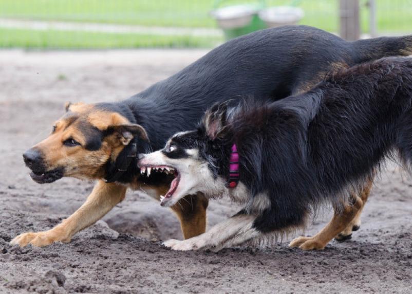 В Смоленске стая бродячих собак набросилась на ребёнка и покусала его