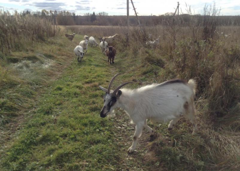 Коров и коз смоляне могут купить для своих ферм на средства грантов