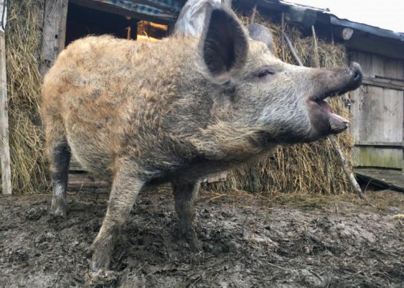 Сельское хозяйство на Смоленщине: поголовье свиней снизилось на треть, производство картофеля — на четверть