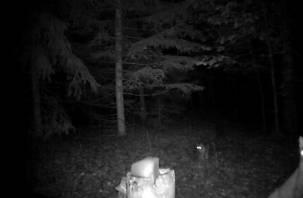 Уникальные кадры. Рысь с котенком «поймала» фотоловушка Смоленского Поозерья