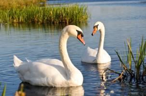 В Смоленской области охотник расстрелял семью лебедей