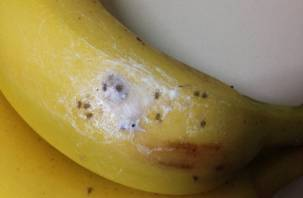 В Россию могут запретить ввоз бананов с переносчиком холеры