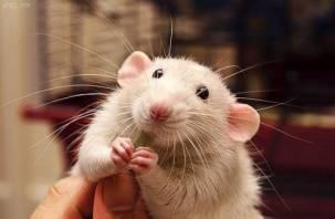 Крысы их ненавидят. 3 самых нежелательных подарка на Новый 2020 год