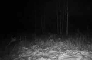 Случай редкой дружбы кабанов и волков запечатлела камера Смоленского Поозерья