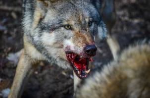 Волки атакуют собак вблизи Смоленского Поозерья