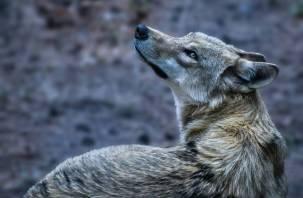 Смоляне заметили в городе волка?