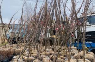 На улицах Смоленска в скором времени высадят липы, рябины и клены