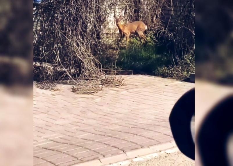 «Животные просят помощи». Жители Смоленска заметили в городе косулю