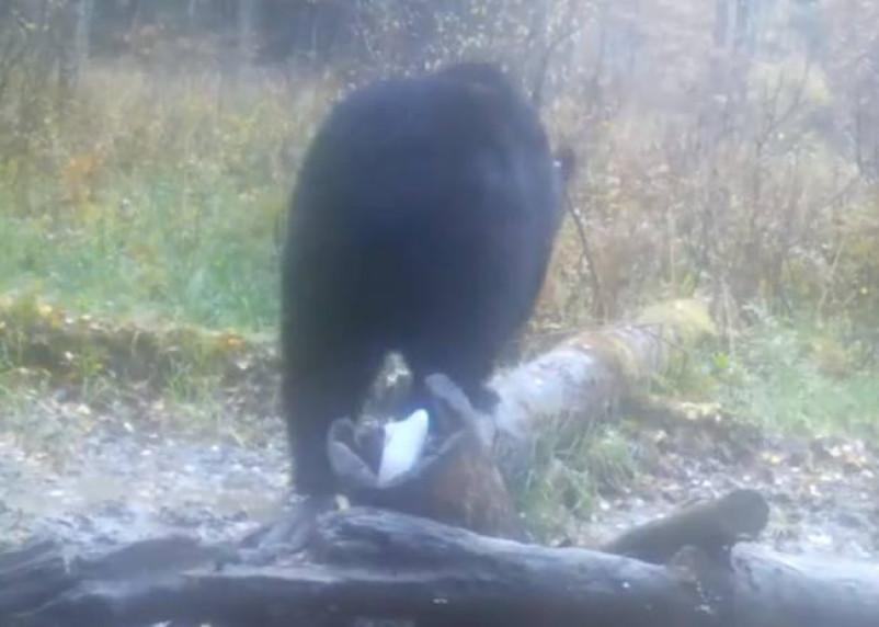 Грациозный медведь из Смоленского Поозерья попал на видео