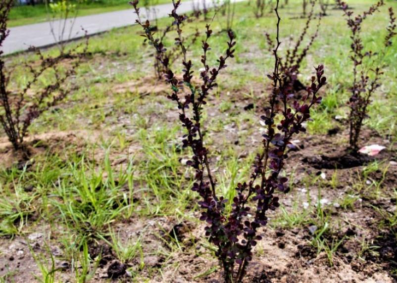 Сирень и барбарисы украсили территорию в Ленинском районе