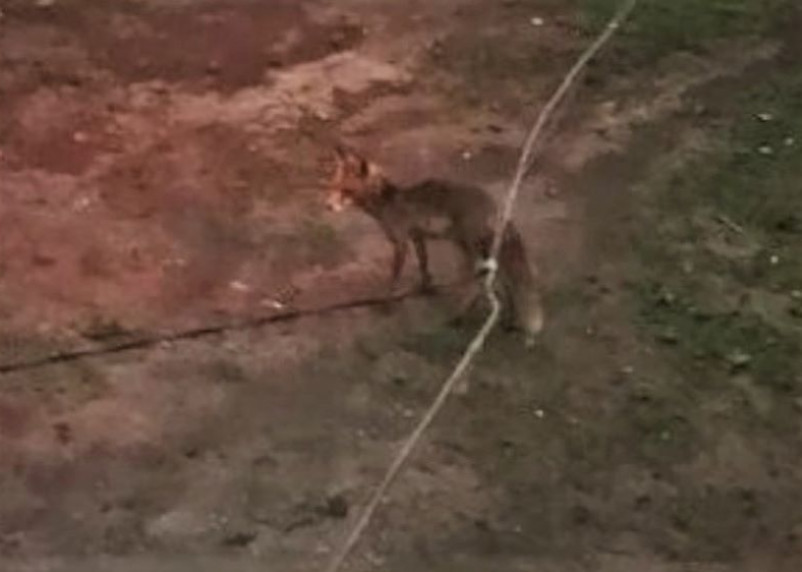 Жителей Рославльского района встревожил дикий зверь на улицах