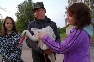 Аиста-инвалида из Смоленской области приютят в соседнем регионе