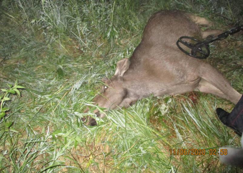 Смоляне продолжают убивать лосей