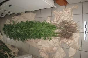Сафоновский пенсионер организовал плантацию конопли на своём участке