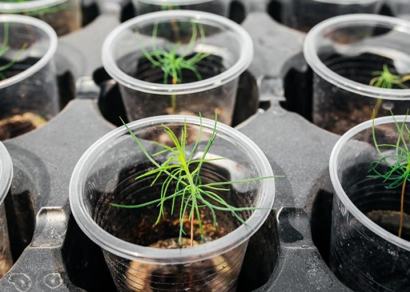 Российские ученые научились ускорять рост деревьев в 10 раз