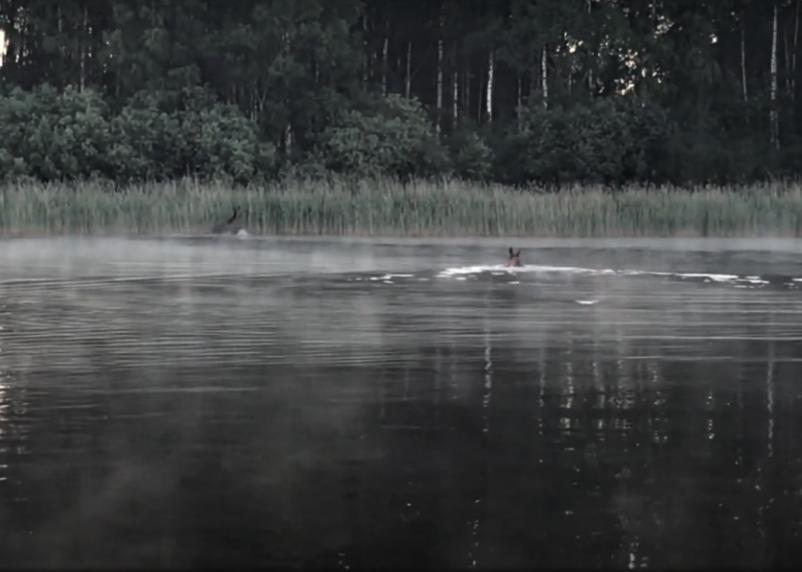 В Смоленской области заплыв лосей по реке запечатлели на видео