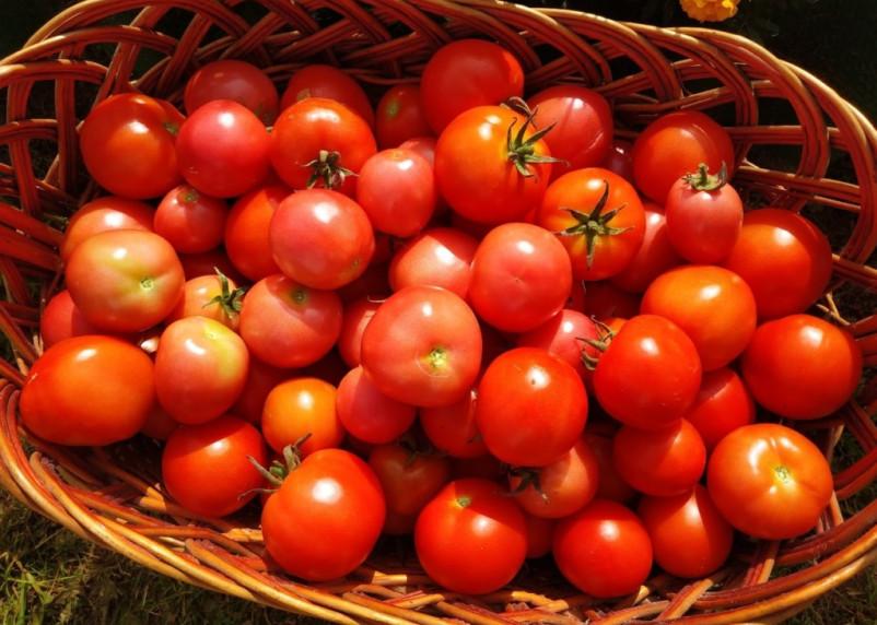В Смоленской области уничтожили 20 тонн томатов-«нелегалов»