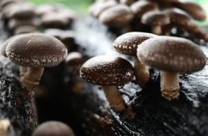 «Императорский гриб». Назван продукт против рака