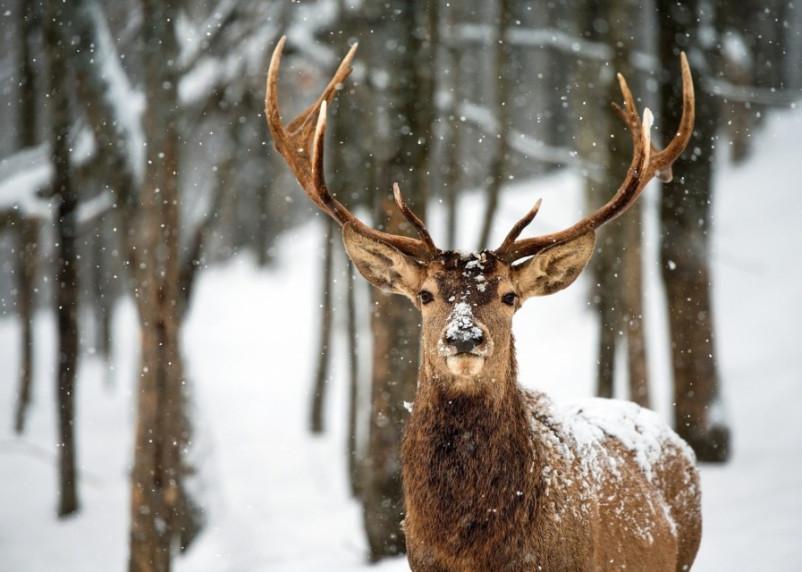 В Смоленской области власти поддержали оленеводов