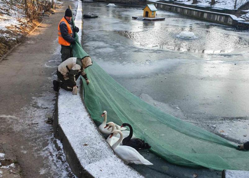 Смоленских лебедей отправили на зимовку