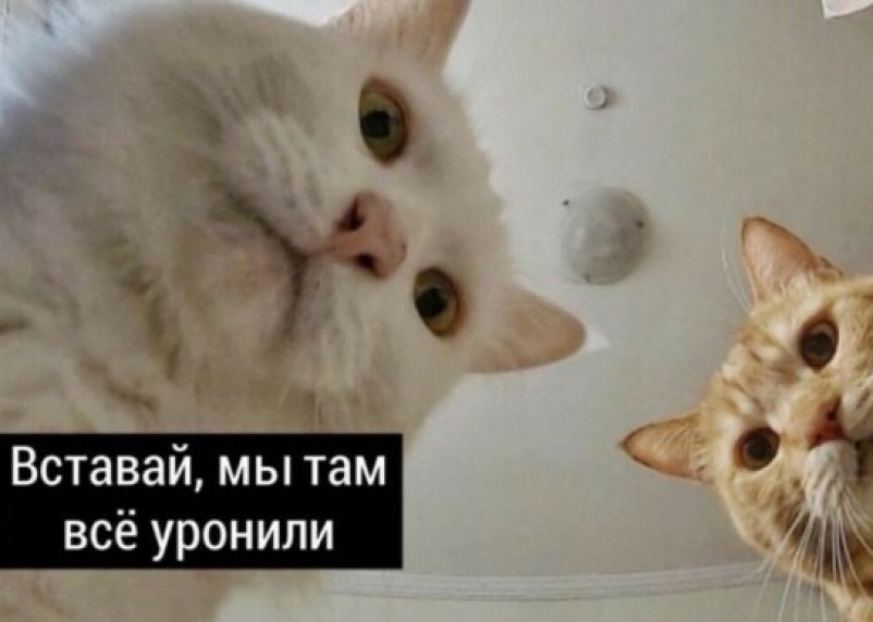 «Наташ, мы все уронили». Составлен рейтинг самых популярных котов 2020 года