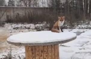 В Смоленской области сняли на видео лису. Животное пришло к дому в поисках еды