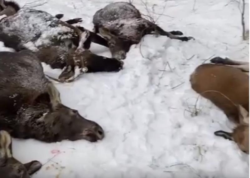 В Смоленской области проведут проверку по факту незаконной охоты на лосей