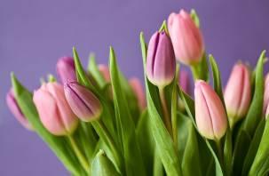 В Смоленской области к 8 марта вырастили  полмиллиона тюльпанов