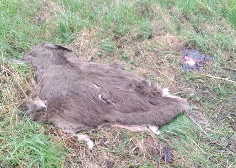 «Мясо упаковали в мешки». Браконьеры убили лося в Смоленском районе