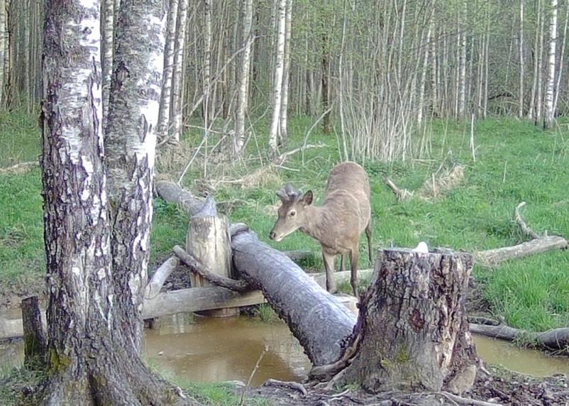 Европейский благородный олень попал на видео в Смоленском поозерье