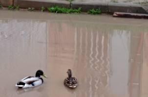Утки становятся индикатором состояния городской среды в Смоленске